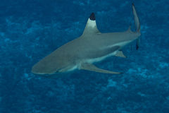 Tiburón del filón de Blacktip en Bora Bora, Polinesia francesa Fotos de archivo libres de regalías