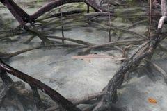 tiburón del filón de la Negro-extremidad en los mangles. fotos de archivo libres de regalías