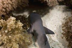 Tiburón del filón del whitetip del bebé (obesus del triaenodon) Imagenes de archivo