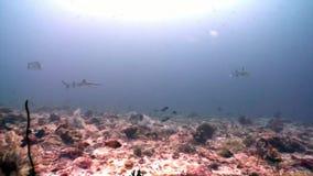 Tiburón del filón subacuático en el fondo de la reflexión del sol en el fondo del mar Maldivas almacen de video