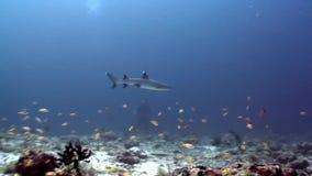 Tiburón del filón subacuático en el fondo de la reflexión del sol en el fondo del mar Maldivas almacen de metraje de vídeo