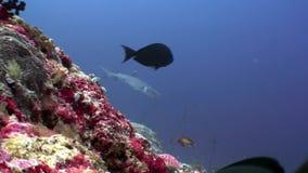 Tiburón del filón subacuático en fondo del coral asombroso en el fondo del mar Maldivas almacen de video