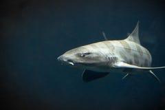 Tiburón del leopardo imagen de archivo