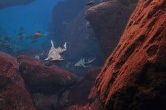 Tiburón del leopardo fotografía de archivo libre de regalías