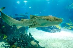 Tiburón del leopardo subacuático Imágenes de archivo libres de regalías