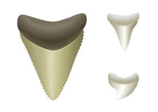 Tiburón \ 'dientes de s. Megalodon, grande, tiburón de tigre Imágenes de archivo libres de regalías