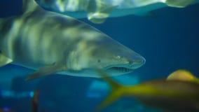 Tiburón en acuario metrajes