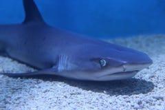 Tiburón en descanso en agua azul Foto de archivo libre de regalías