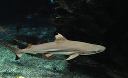 Tiburón en el agua en un acuario foto de archivo