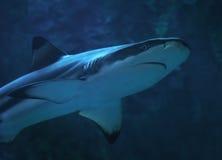 Tiburón en el cierre del agua azul encima de la visión desde abajo el lado derecho Foto de archivo