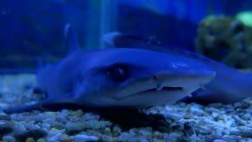 Tiburón en un acuario en el agua Océano despredador del tiburón de los pescados almacen de metraje de vídeo