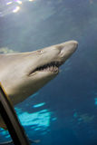 Tiburón feroz Imagen de archivo