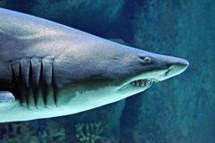 Tiburón grande fotos de archivo libres de regalías