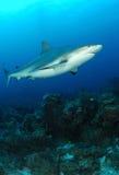 Tiburón gris del Caribe del filón Foto de archivo libre de regalías