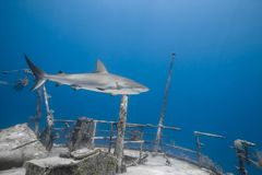 Tiburón gris del filón de los amblyrhynchos del Carcharhinus Imágenes de archivo libres de regalías