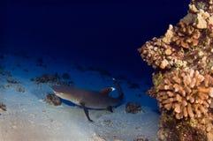 Tiburón inclinado blanco del filón imagenes de archivo