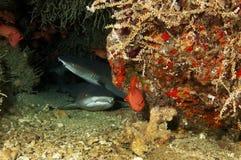 Tiburón inclinado blanco del filón imágenes de archivo libres de regalías