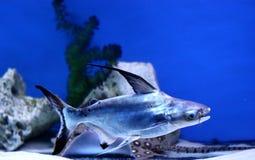 Tiburón iridiscente Imagenes de archivo