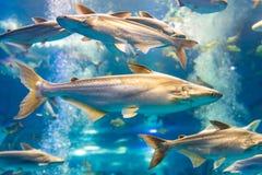Tiburón iridiscente en un acuario privado Imágenes de archivo libres de regalías