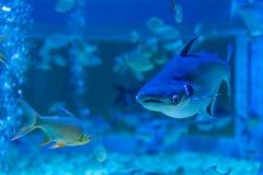 Tiburón iridiscente en un acuario privado Fotografía de archivo