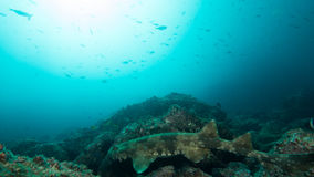 Tiburón manchado de Wobbegong en la roca imagenes de archivo
