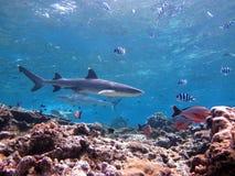 Tiburón que cruza sobre el arrecife de coral Imagen de archivo libre de regalías