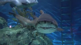 Tiburón que flota a lo largo de piedras grandes, el depredador peligroso del océano almacen de video