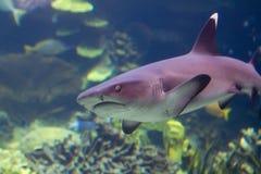 Tiburón que se acerca bajo el agua imagen de archivo libre de regalías