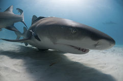 Tiburón sonriente Fotos de archivo libres de regalías