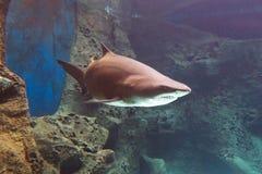 Tiburón subacuático Imágenes de archivo libres de regalías