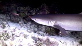 Tiburón subacuático en busca de coral asombroso de la comida en el fondo del mar Maldivas almacen de video