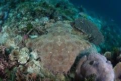 Tiburón Tasseled de Wobbegong en lecho marino Imágenes de archivo libres de regalías