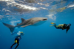 Tiburón y zambullidores de ballena de maldives Imagen de archivo libre de regalías