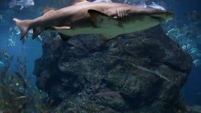 Tiburón almacen de metraje de vídeo
