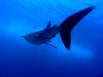 Tiburón de ballena Imagen de archivo