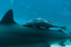 Tiburón del bebé en la parte posterior de la madre Fotografía de archivo