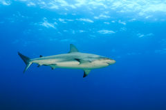 Tiburón en el océano Fotografía de archivo