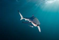 Tiburón y amigo Foto de archivo libre de regalías