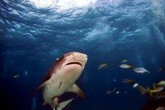 Tiburones Fotos de archivo