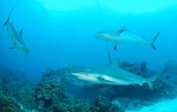 Tiburones Imagenes de archivo