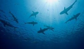 Tiburones Foto de archivo libre de regalías