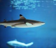 Tiburones Fotos de archivo libres de regalías