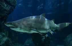 tiburones Foto de archivo