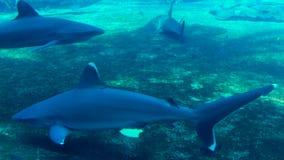 Tiburones blancos oceánicos de la extremidad en acuario almacen de video
