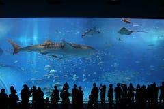 Tiburones de ballena Okinawa Prefecture Churaumi Aquarium Kuroshio actual foto de archivo libre de regalías