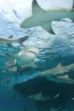 Tiburones de limón detrás del barco Foto de archivo