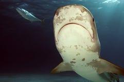 Tiburones de tigre foto de archivo