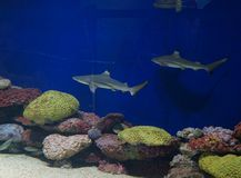 Tiburones del bebé Fotografía de archivo