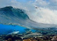 Tiburones del filón coralino de la gaviota de la onda que practican surf bajo el agua Imágenes de archivo libres de regalías
