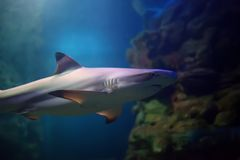 Tiburones del filón de Blacktip que nadan en aguas tropicales sobre el arrecife de coral imágenes de archivo libres de regalías